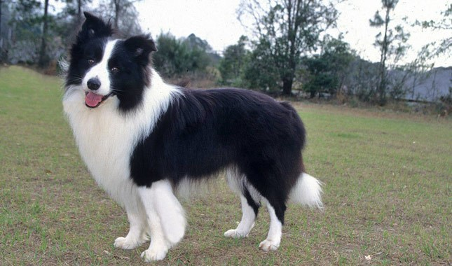 border collie dog1